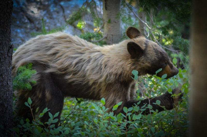 Medvěd, středozápad USA