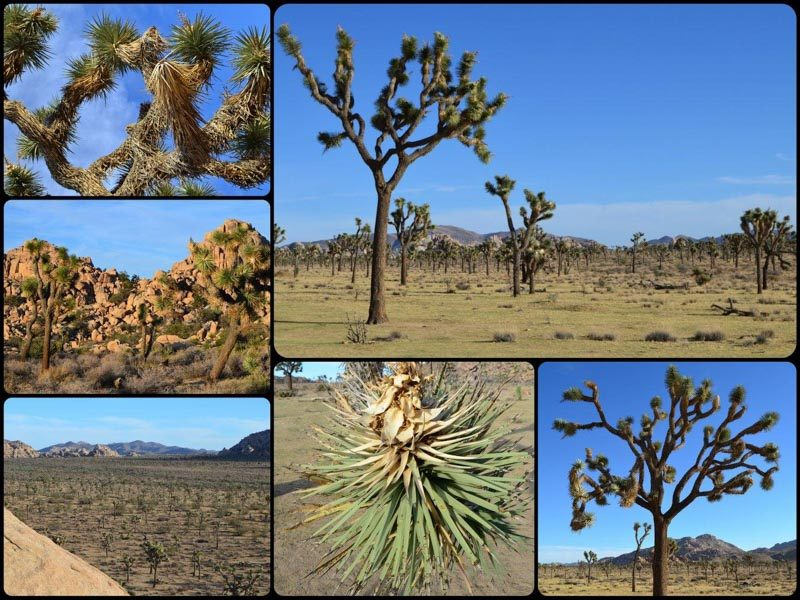 Joshua Tree National Park, Road Trip to the top National Parks in the US west coast.