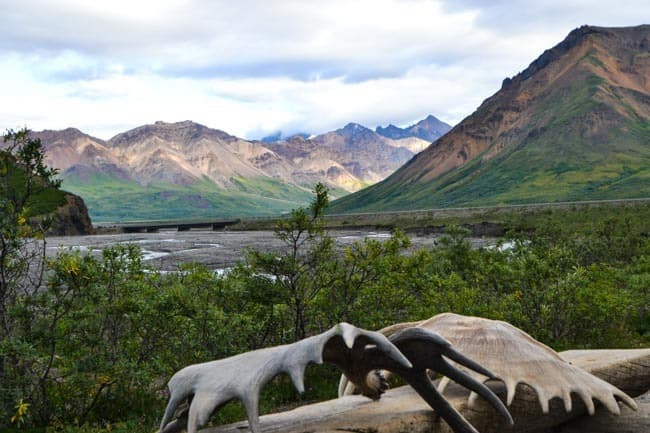 V NP Denali, losí parohy