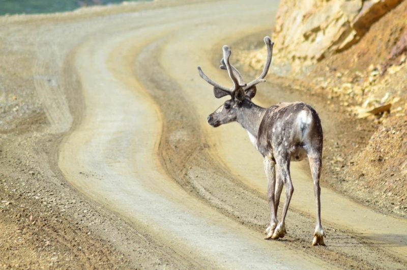 Jelen karibu v NP Denali