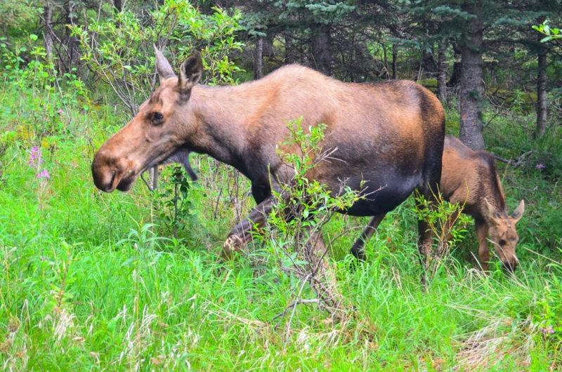 Aljaška, Losí rodinka se často procházela kolem domu
