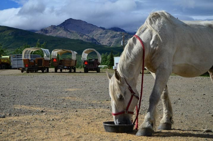 White Percheron and covered wagon parking, Cool Summer Job in Alaska - Horse Wagon Guide
