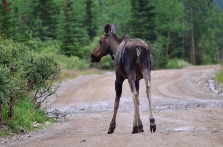 Moose on the road - Common view from covered wagon, Cool Summer Job in Alaska - Horse Wagon Guide