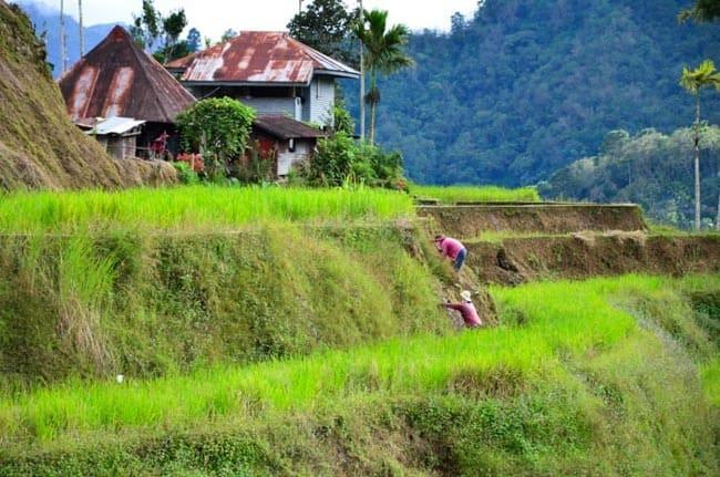 Místní pracující na rýžových terasách