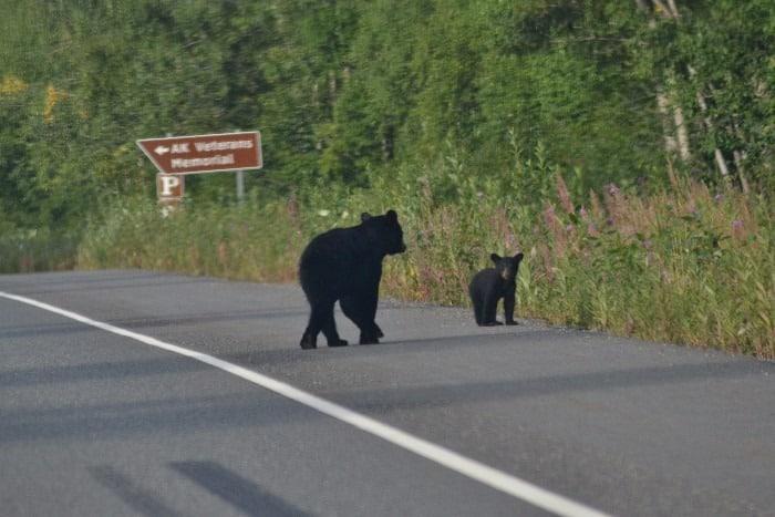 Medvědí rodinka přímo na silnici, Aljaška lov