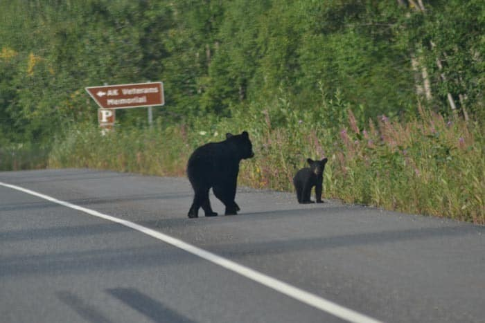 You can see a bear directly on the road while traveling Alaska