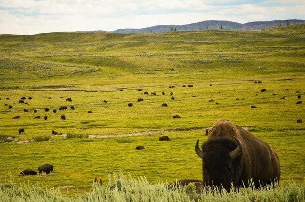 Stádo bizonů, Yellowstone
