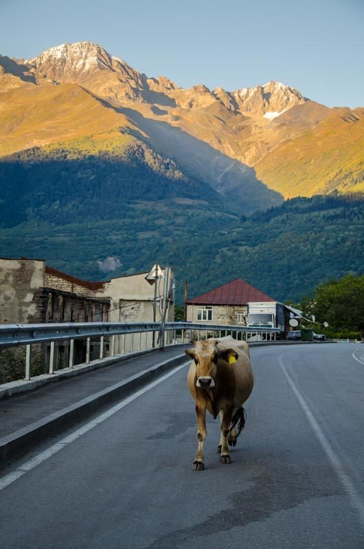 Řízení v Gruzii není snadné, mimo jiné se všude potulují krávy.
