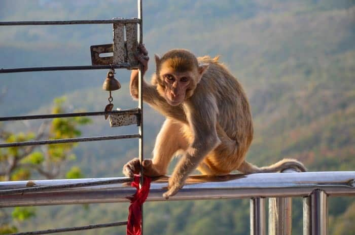 Beware of cheeky monkeys at Mt Popa, Myanmar