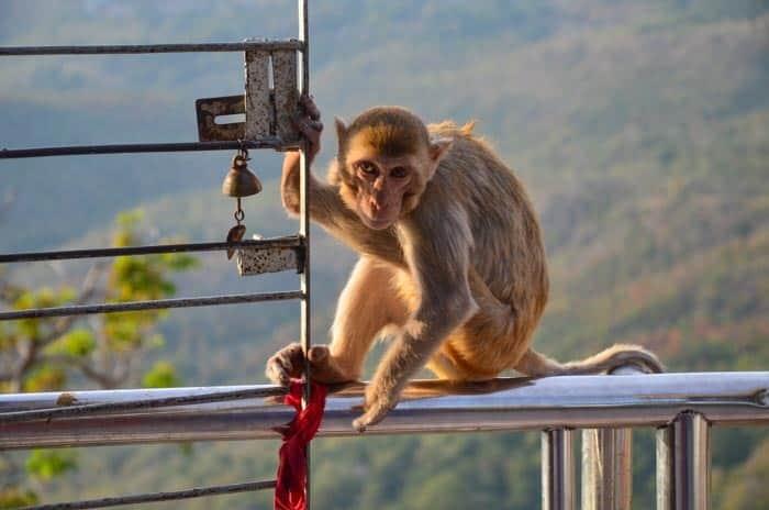 Pozor si dejte na drzé opičáky; Mt Popa, Myanmar