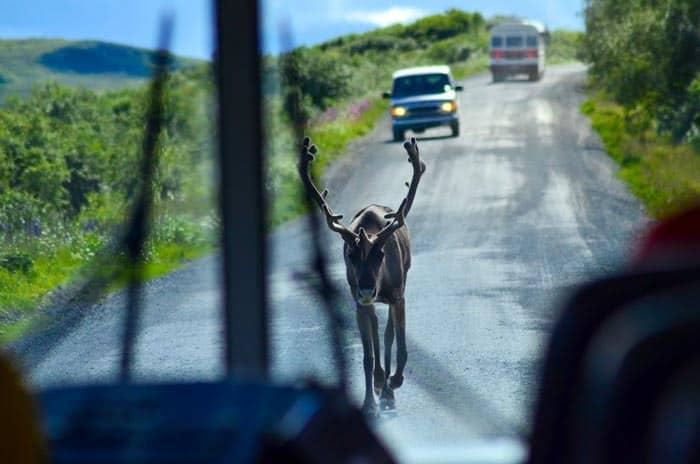 Jelen Karibu procházející se po jediné silnici parku - Zvířat uvidíte z autobusu spoustu.