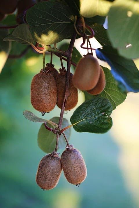 Kiwi - typické ovoce pro Nový Zéland