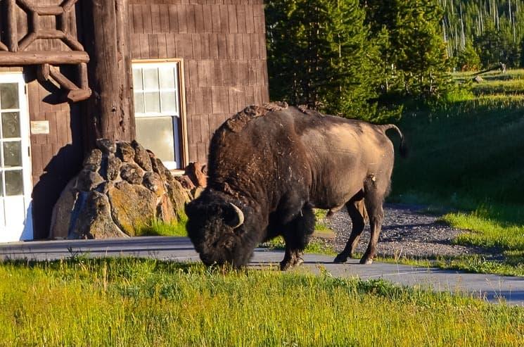 Tenhle bizon stojí pouhých pár metrů od zadního východu z hotelu. Buďte ve střehu, zejména,pokud vycházíte z budovy.
