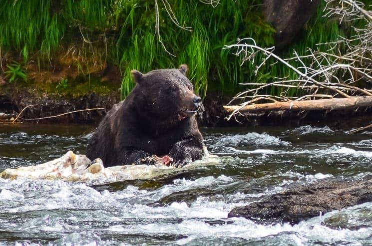 Medvěd Grizzly, který si pochutnává na mrtvém bizonovi. LeHardys Rapids.
