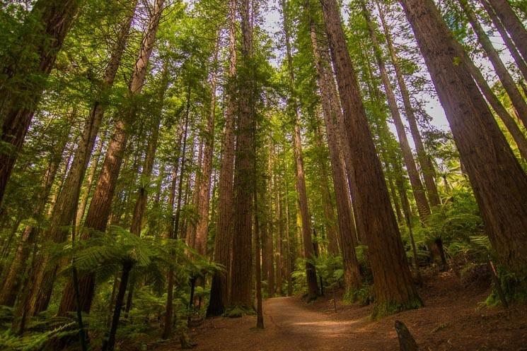 Whakarewarewa Redwoods Forest, Rotorua