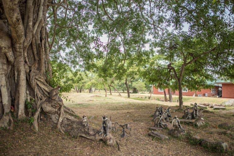 Srí Lanka opice