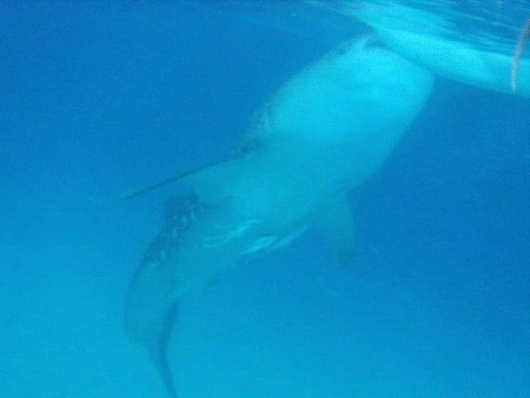 Best Tourist Spots in Cebu - Oslob Sharks