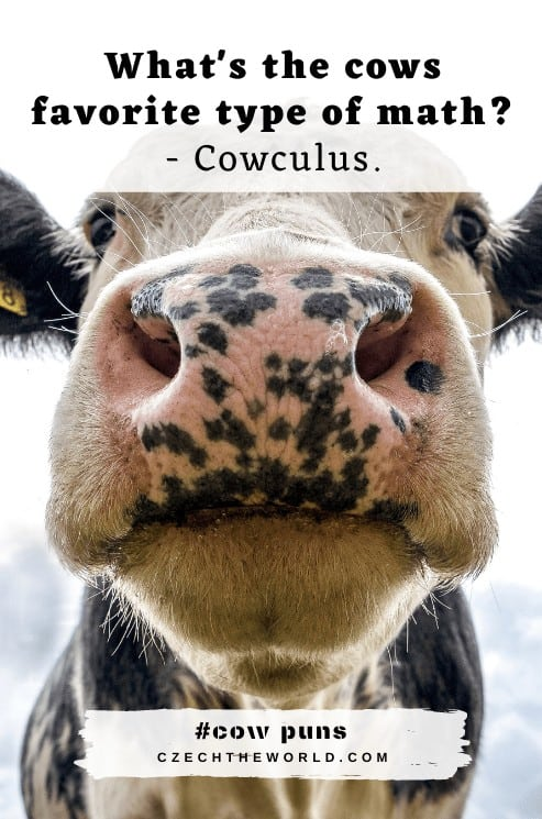 Best Cow Puns and Jokes