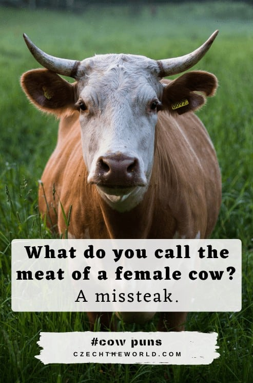 Funny Cow Puns and Jokes
