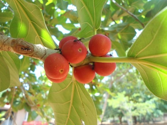 15 Fruits That Start With Letter I - The Alphabet Game 14